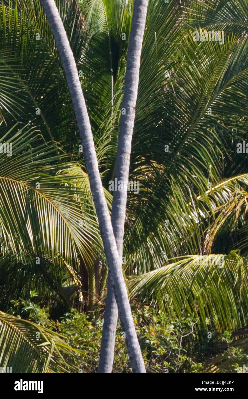 X marks the spot. Crossing palm trees forming an x. - Stock Image