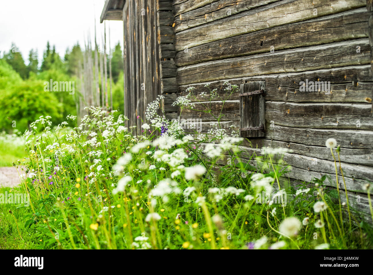 Old traditional wooden house with summer flowers in front located in Orsa Dalarna Sweden - Stock Image
