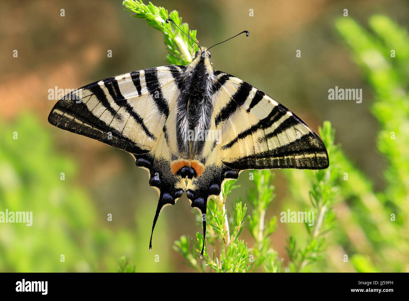 Scarce Swallowtail (Iphiclides podalirius) on a plant, einzeln, single, one - Stock Image