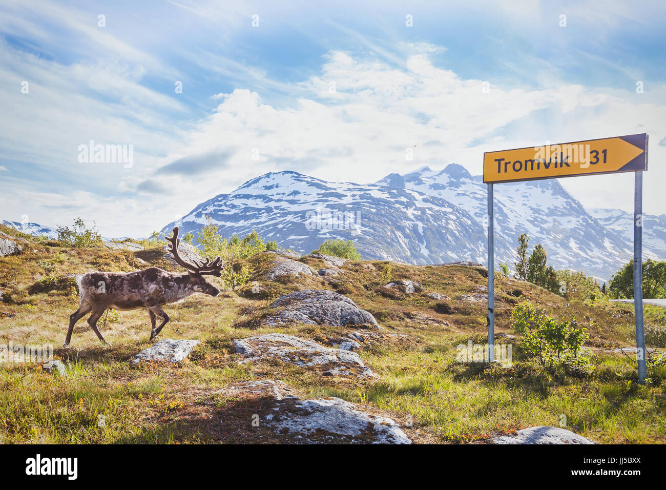 reindeer walking in urban area near road directional sign to city Tromvik near Tromso - Stock Image
