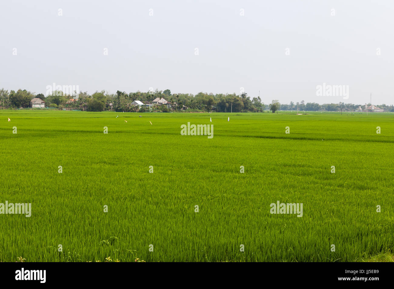 Vietnamese ordinary green field of rice - Stock Image