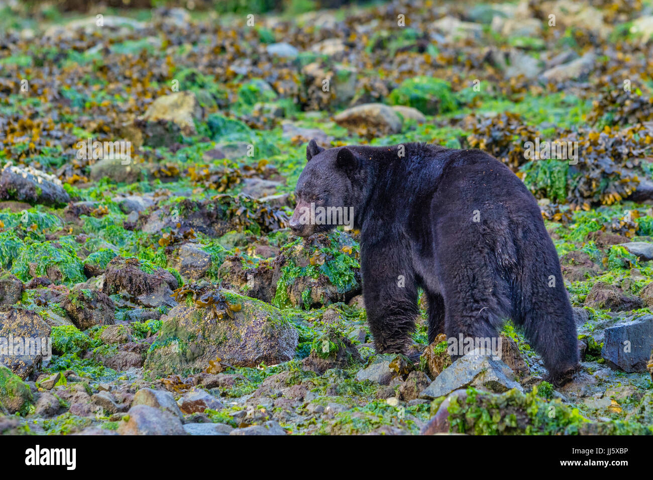 Black bear feeding along the beach at low tide, rolling rocks in the search of crabs and mussels, British Columbia, - Stock Image