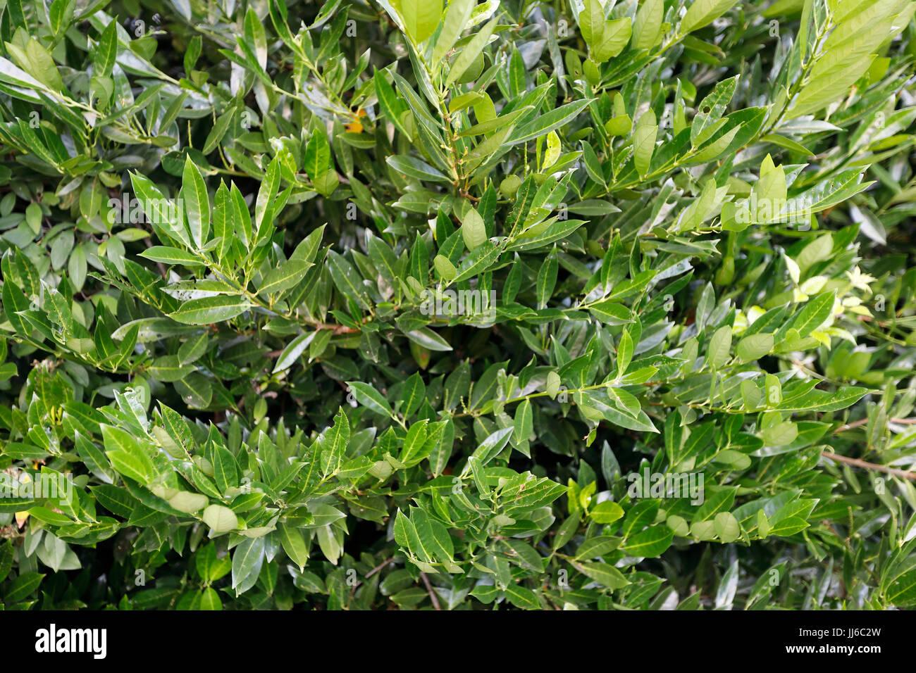 Laurel leaves - Stock Image