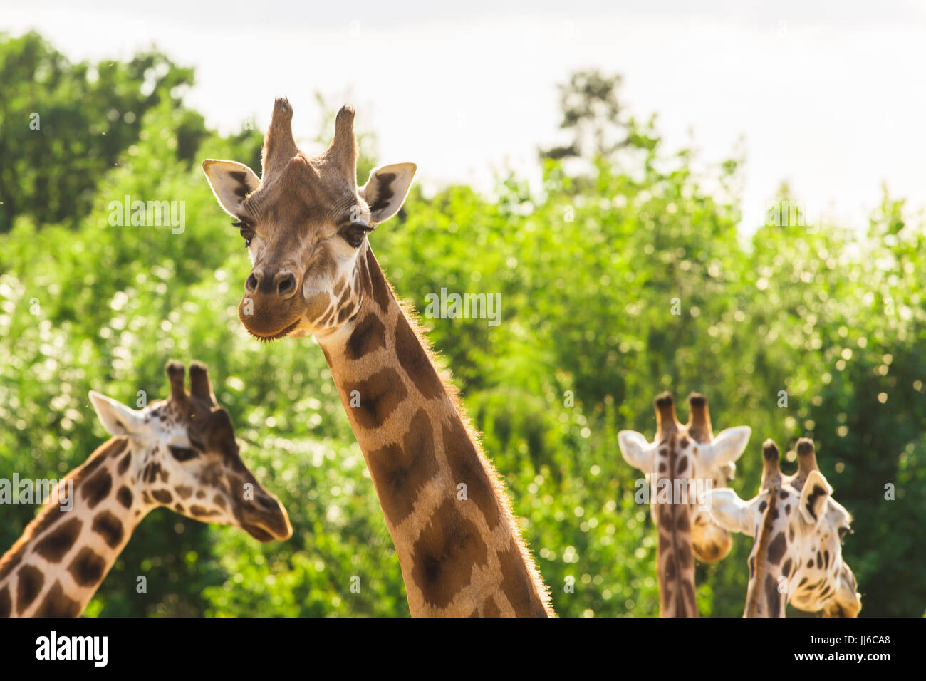 Close-up of a giraffe in front of some green trees. - Stock Image