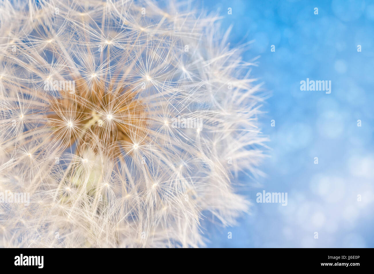 Dandelion flower with seeds ball close up in blue bright bokeh background - Stock Image