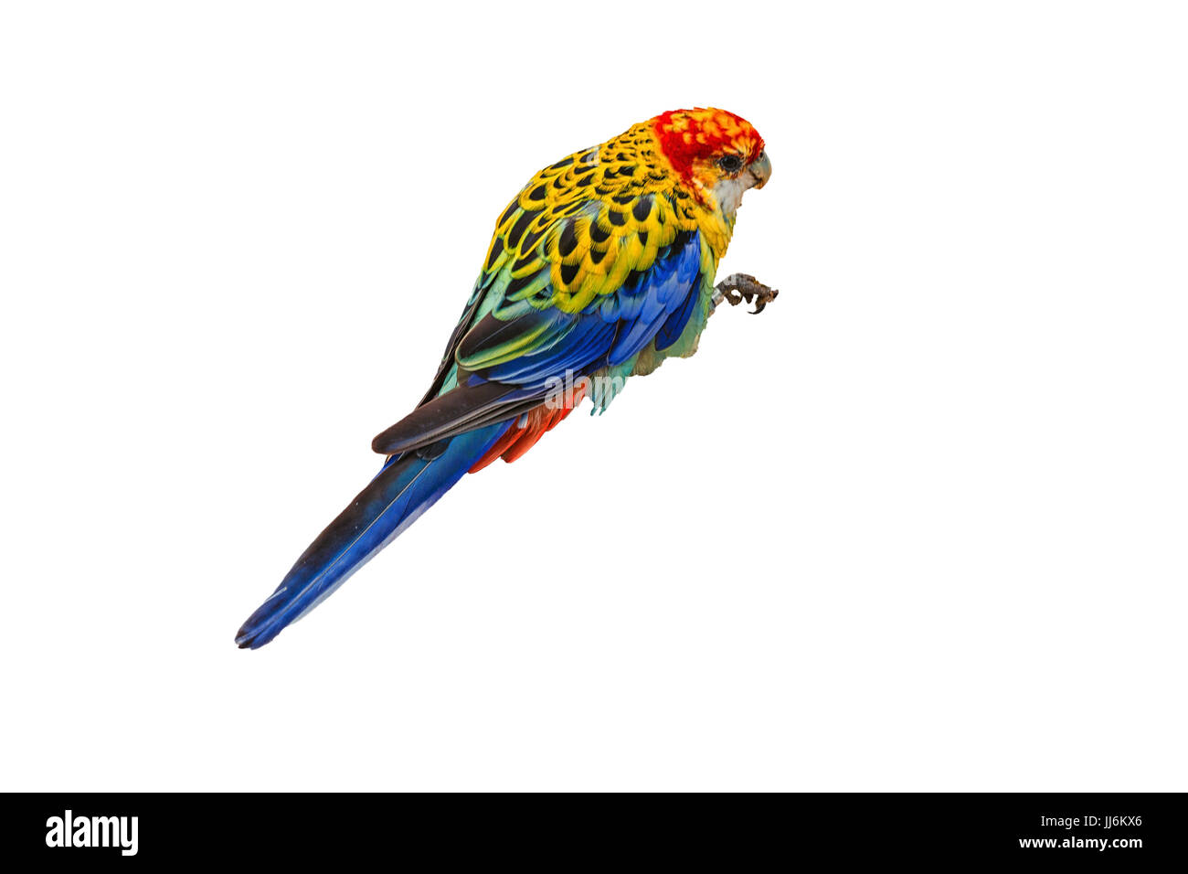 White-breasted parakeet or also called Rosella against white background. - Stock Image