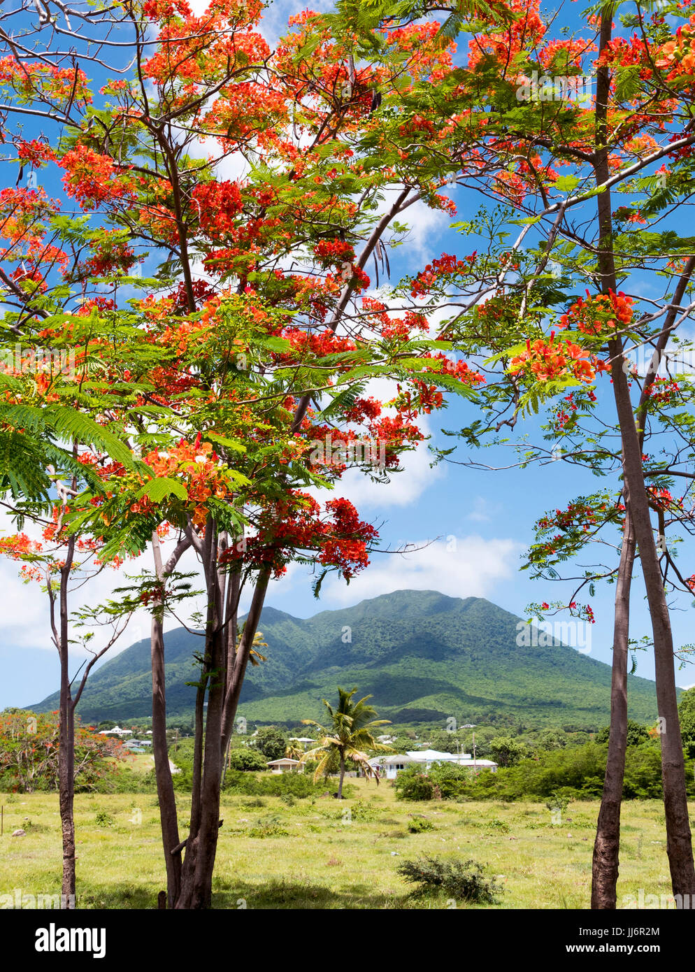 Red Flamboyant trees  with Nevis Volcano in the distance.  St.Kitts and Nevis Caribbean Island - Stock Image