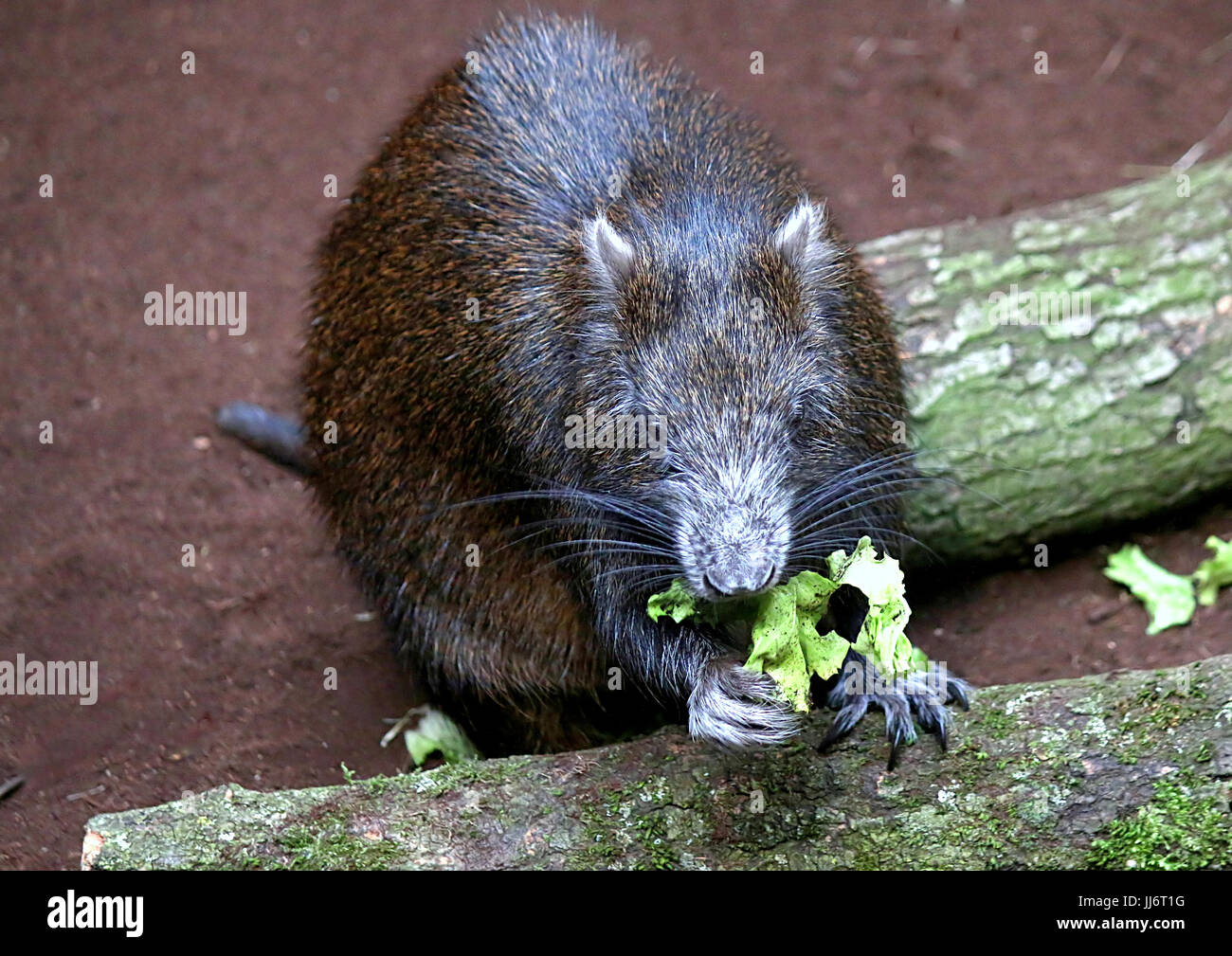 Cuban or Desmarest's Hutia (Capromys pilorides) feeding, using front paws. - Stock Image