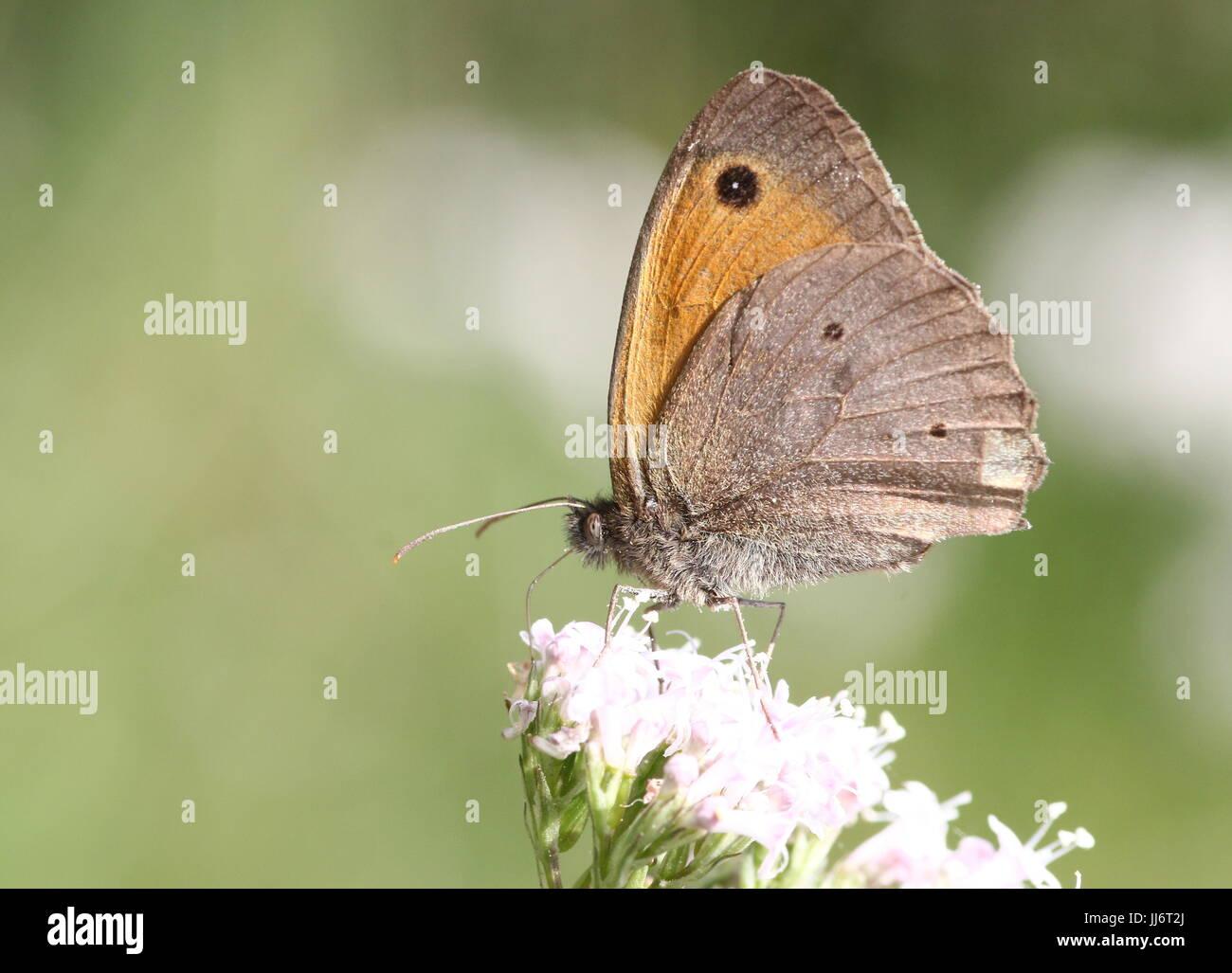 European Meadow Brown butterflies (Maniola jurtina) in closeup while feeding. - Stock Image