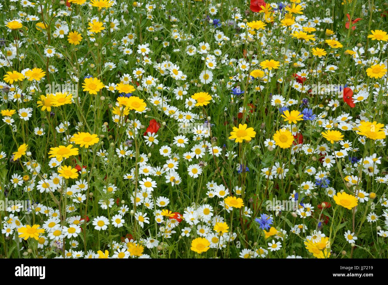 Planted wildflower meadow colourful mixes wild flowers spring summer flowers - Stock Image