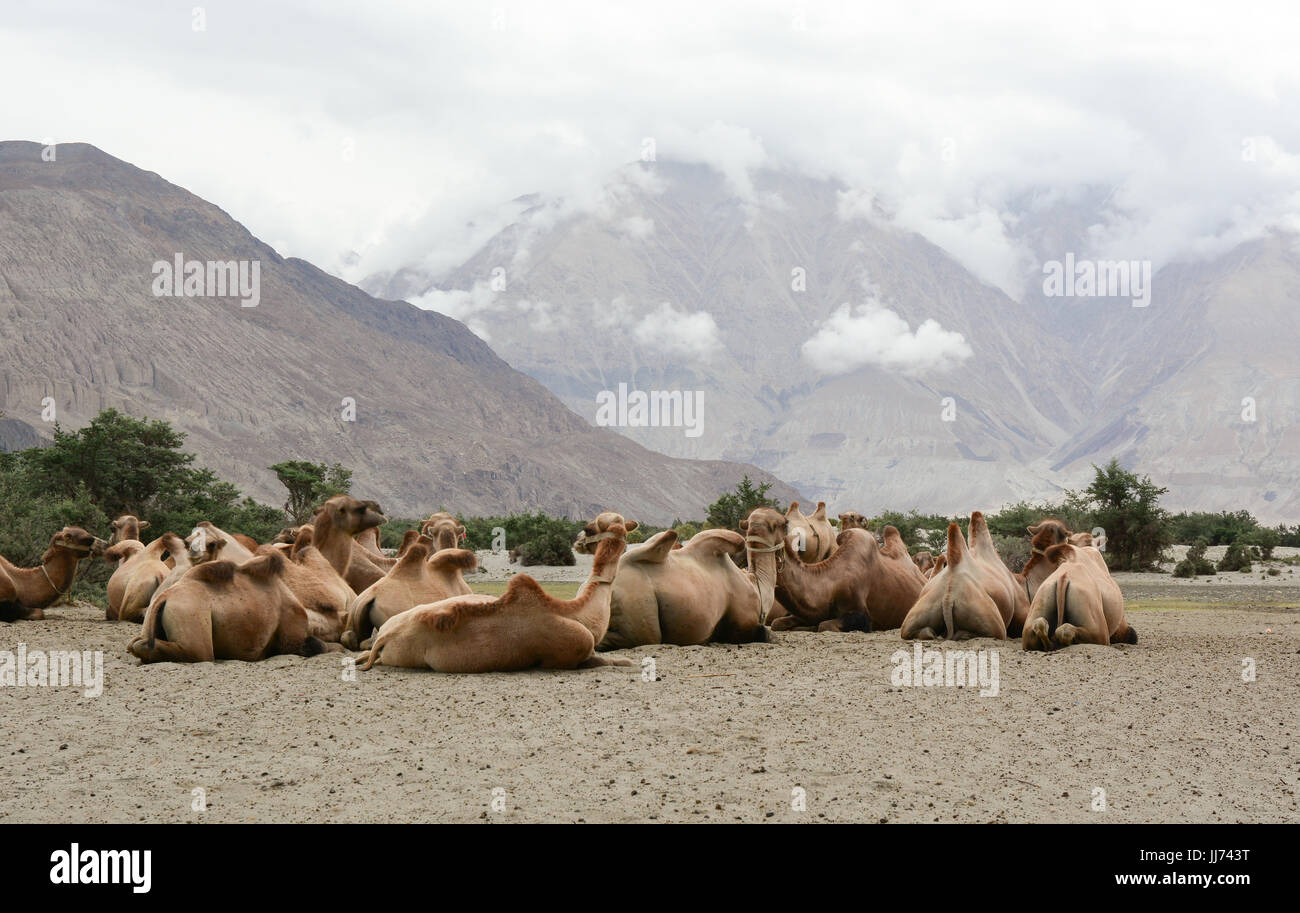 Bactrian camels in Nubra valley, Ladakh, India. The valley was open for tourists till Hunder (the land of sand dunes) Stock Photo