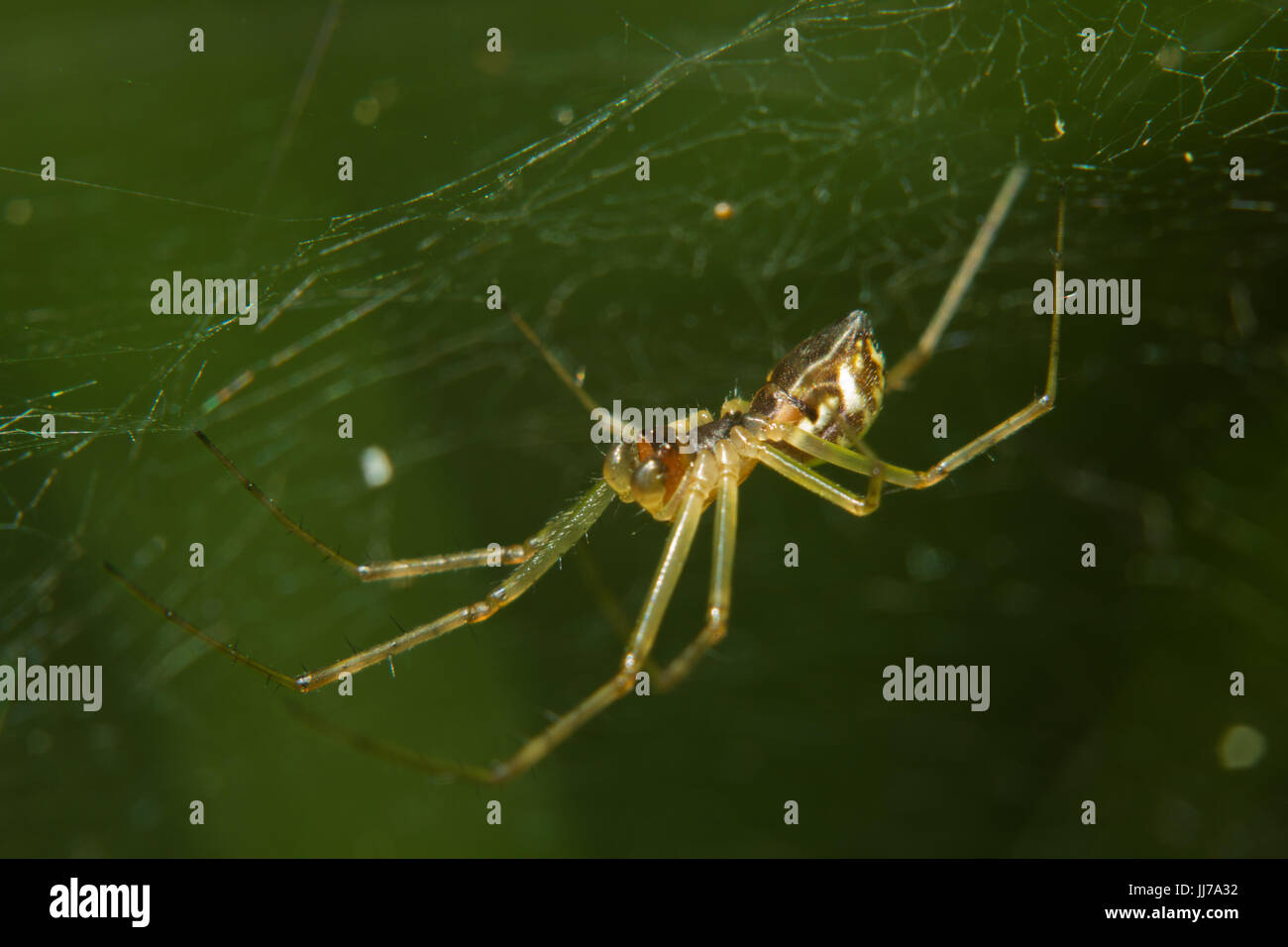 Small spider, a Linyphia species, in a web against a green background Stock Photo