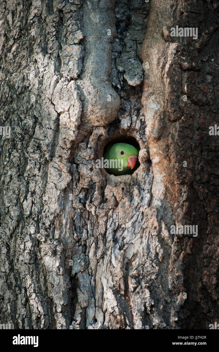 Ring-necked or Rose-ringed Parakeet, (Psittacula krameri), peers from nest hole, Regents Park, London, United Kingdom - Stock Image