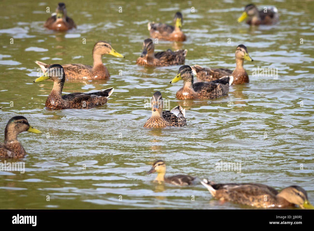 A group or sord of mallard ducks with both male drake and female ducks swimming in a still lake in the early summer - Stock Image