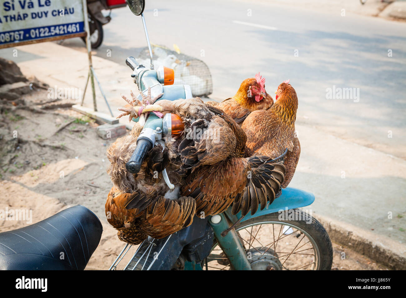 Middle Vietnam - March 14, 2017: traditional way of transporting live poultry is to tie the birds to the scooter - Stock Image