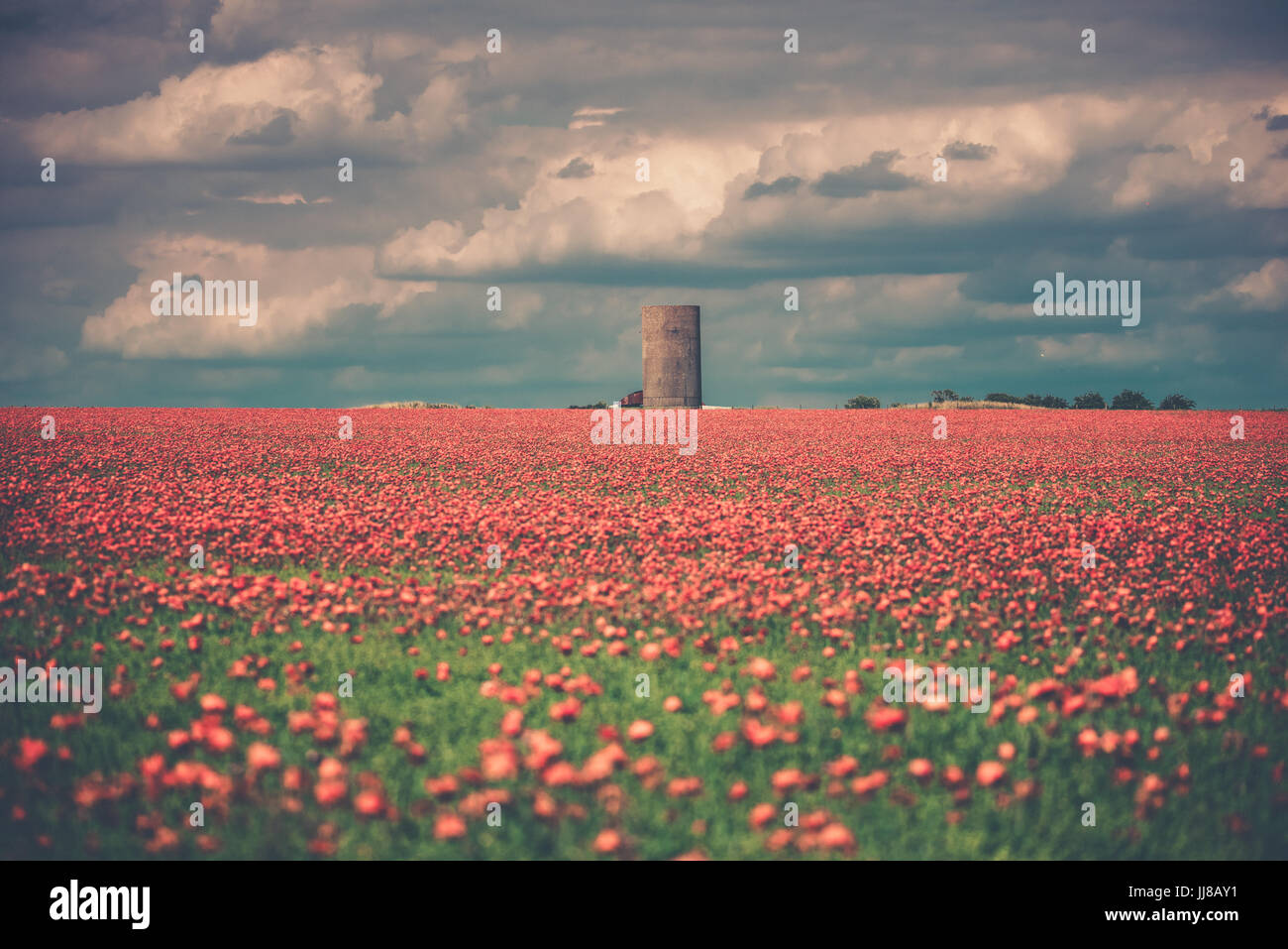 Red poppies in a field in England. A large field of red poppies at golden hour to catch the golden light and sunset Stock Photo