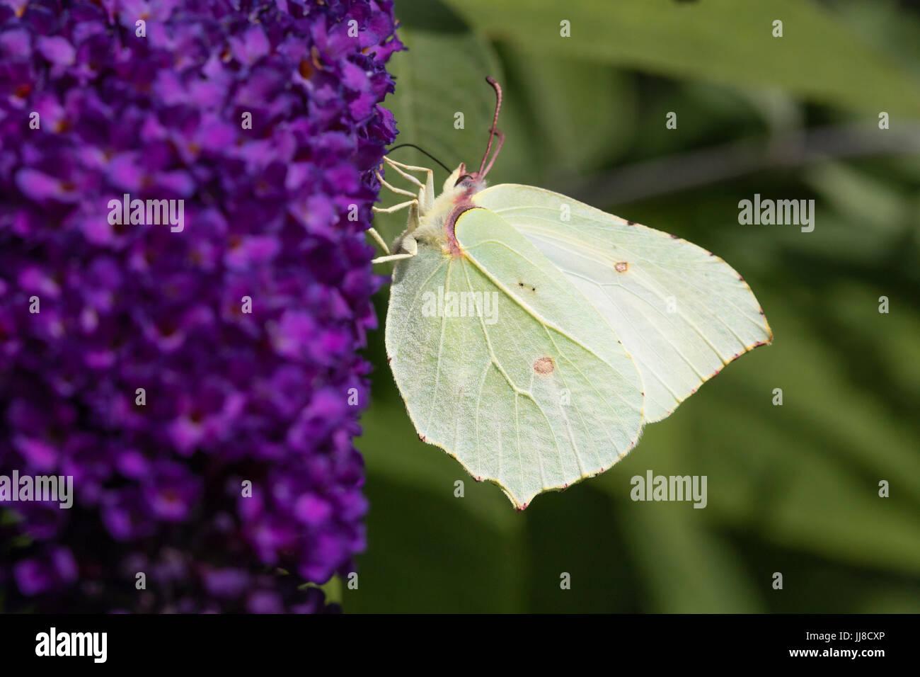 Female Brimstone butterfly, Gonepteryx rhamni, feeding on the flower panicle of Buddleja davidii 'Dreaming Lavender' Stock Photo