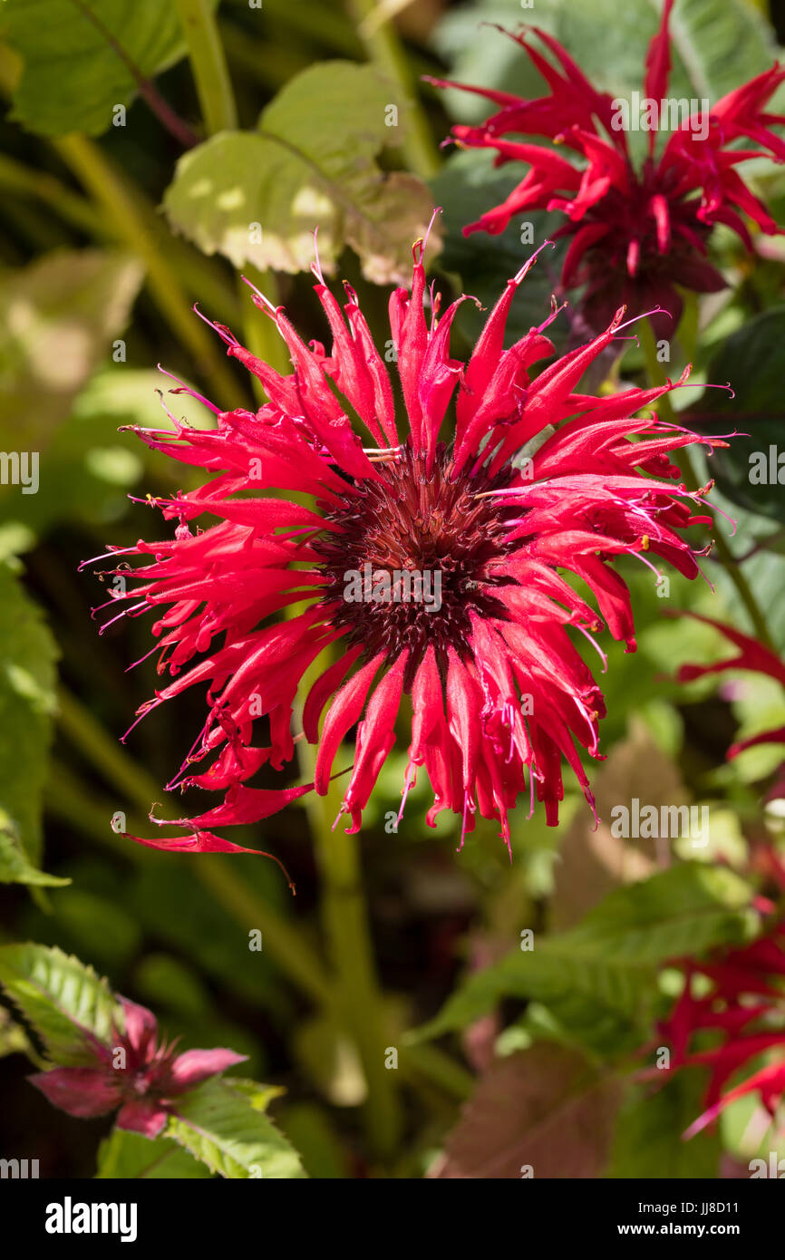 Bright scarlet summer flowers of the hardy perennial bergamot stock bright scarlet summer flowers of the hardy perennial bergamot monarda gardenview scarlet mightylinksfo