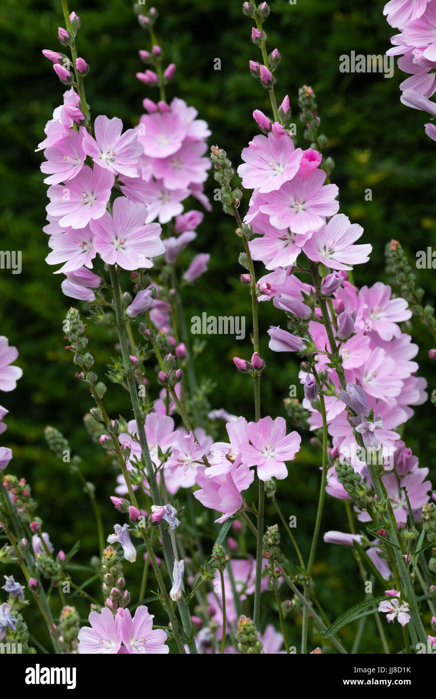 Pink Summer Flowers Of The Hardy Perennial Mallow Sidalacea Elsie