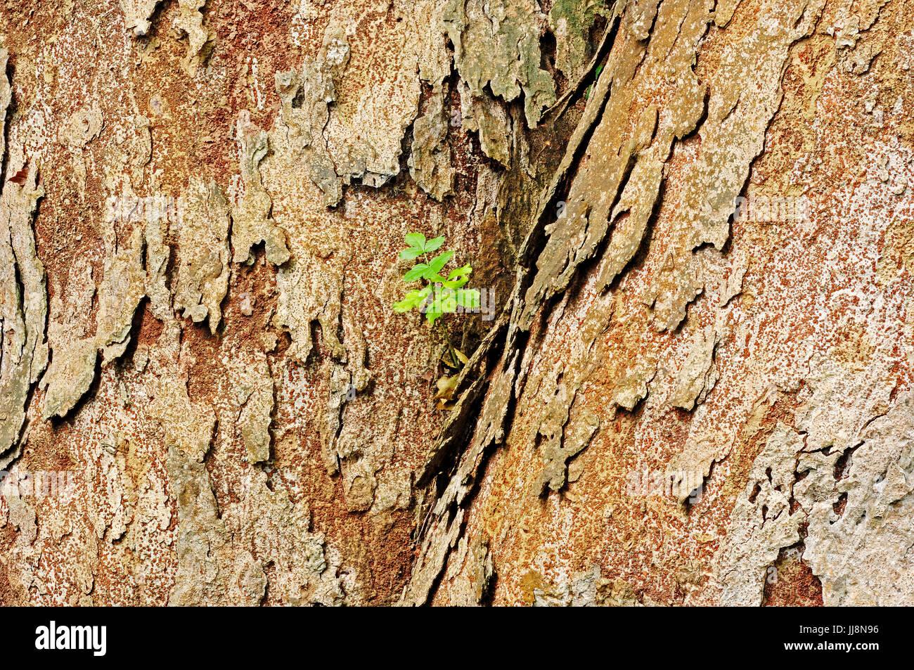 Japanese Zelkova, bark / (Zelkova serrata)   Japanische Zelkove, Rinde / (Zelkova serrata) / Japanische Ulme - Stock Image