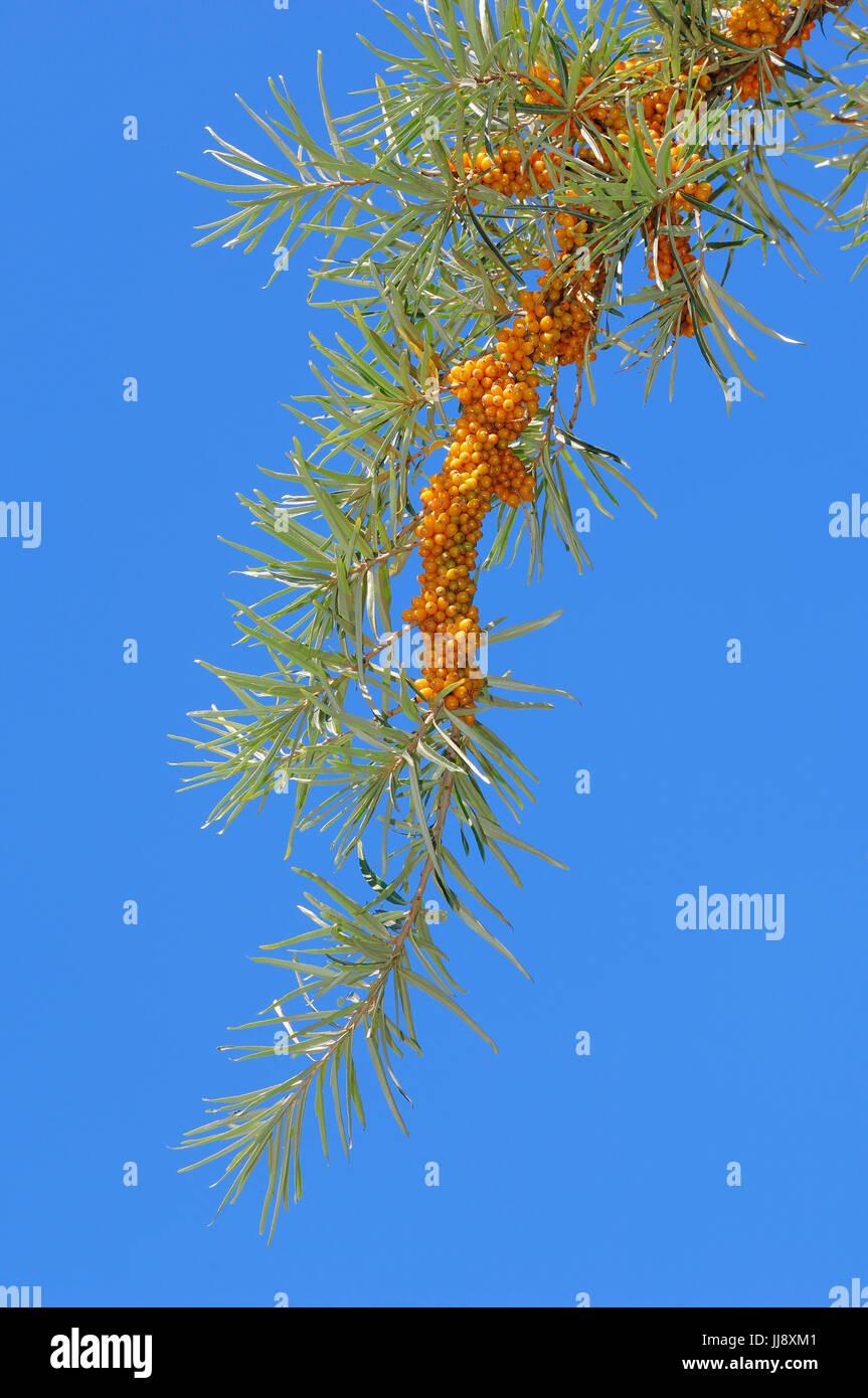 Gemeiner Sanddorn, Ast mit Beeren, Nordrhein-Westfalen, Deutschland / (Hippophae rhamnoides) | Sea Buckthorn, branch with berries, North-Rhine-Westpha Stock Photo