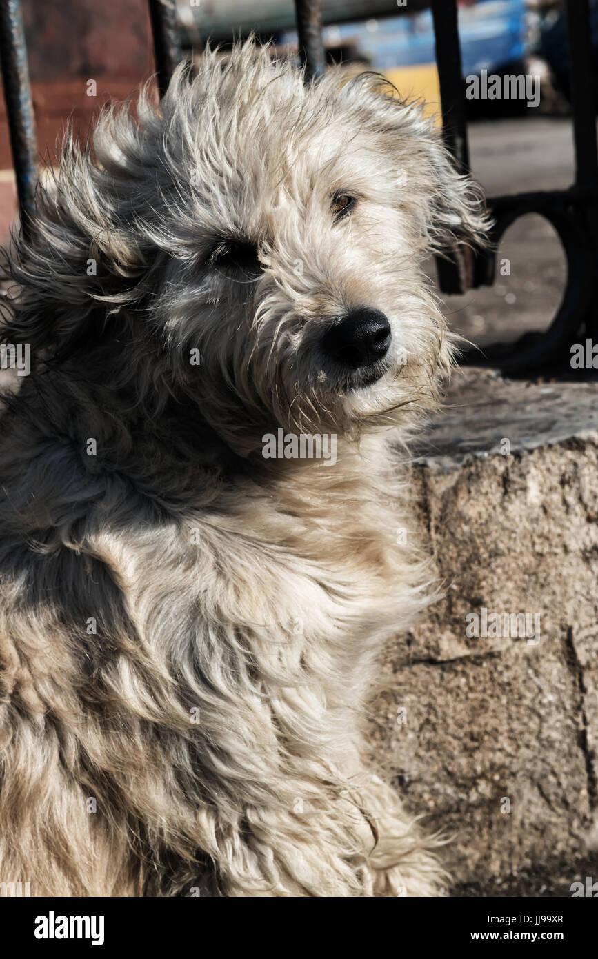 A sad looking shaggy street dog. Stock Photo