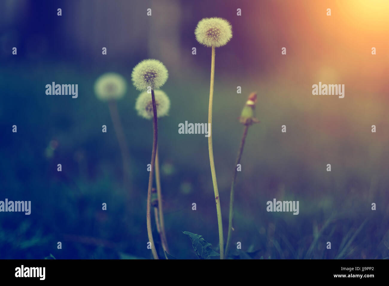 Dandelion flower in sunset. This image is exclusive for Alamy only - Stock Image
