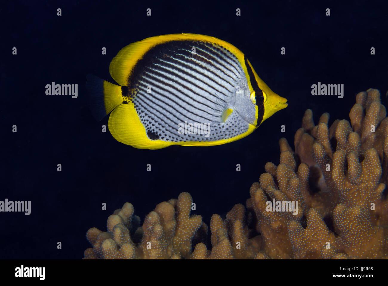 Blackback butterflyfish (Chaetodon melannotus) on coral reef. Spratly Islands, South China Sea - Stock Image