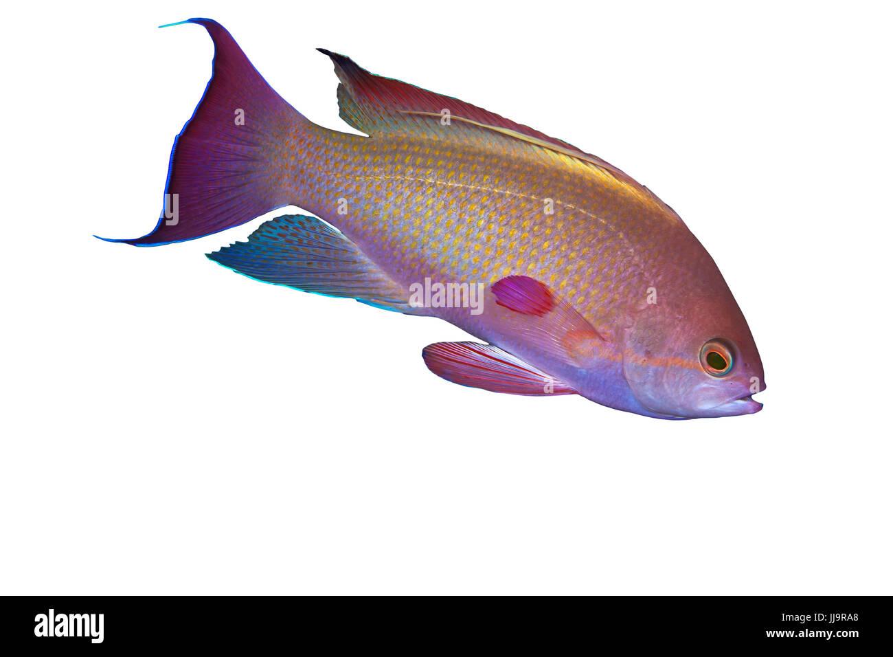 Macro image of Lyetail Anthias (Pseudanthias squamipinnis) on white background, Puerto Galera, Philippines. - Stock Image