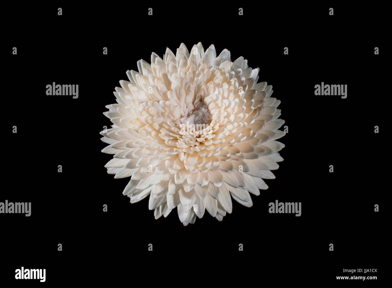 White flowers on black background - Stock Image