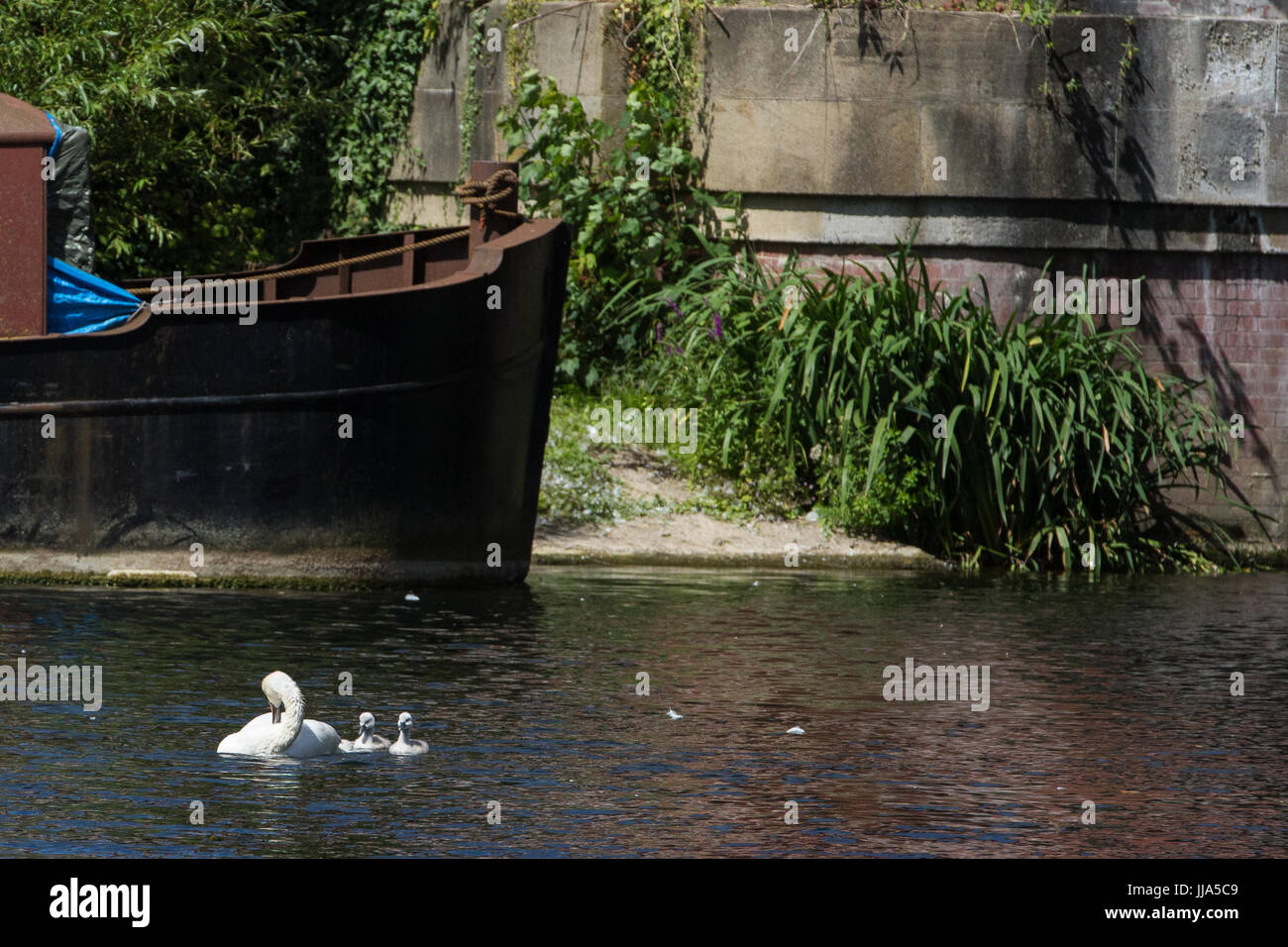 Maidenhead, UK. 18th July, 2017. A family of swans on the River Thames on the second day of the Swan Upping census. - Stock Image