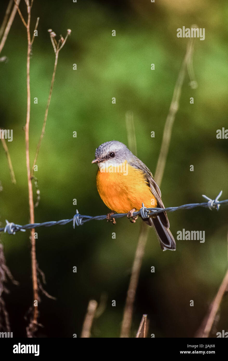 Eastern Yellow Robin, (Eopsaltria australis),perched on barbed wire, Lamington National Park, Queensland, Australia Stock Photo
