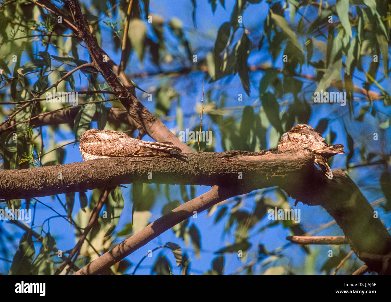 Jungle Nightjar, Caprimulgus indicus, perched on branch and camouflaged, Keoladeo Ghana National Park, Bharatpur, Stock Photo