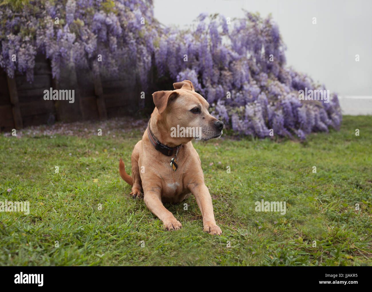 senior mixed breed tan pit-bull dog lays on the grass looking to his left in front of fully bloomed purple wisteria - Stock Image