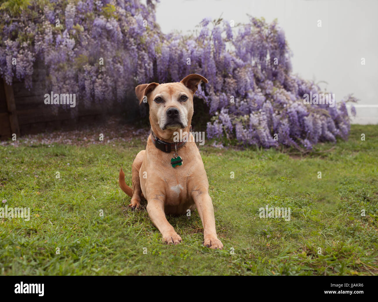 senior mixed breed tan pit-bull dog lays on the grass looking forward in front of fully bloomed purple wisteria - Stock Image