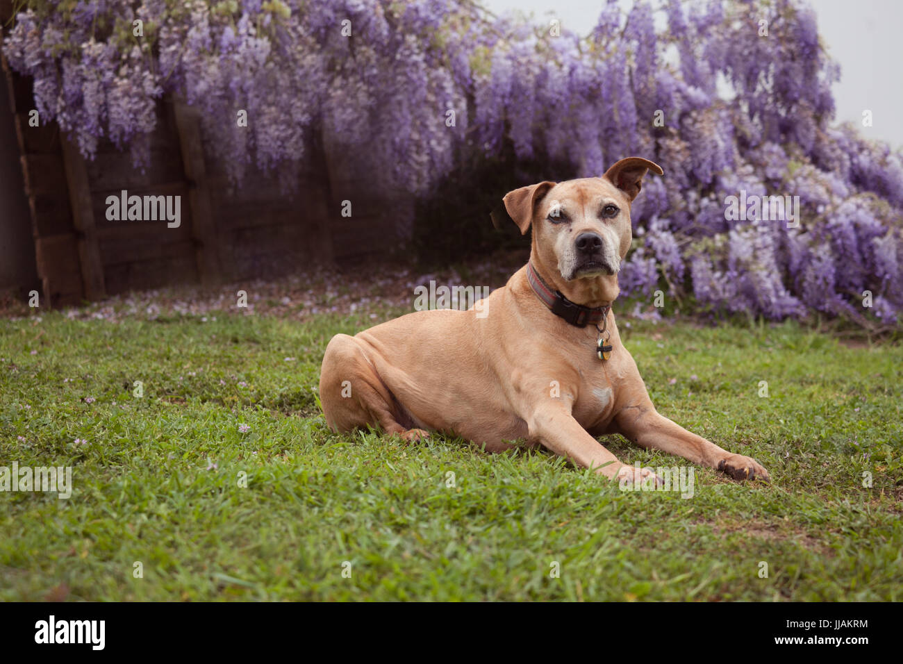 senior mixed breed tan pit-bull dog lays on the grass looking straight ahead .  She is in front of fully bloomed - Stock Image