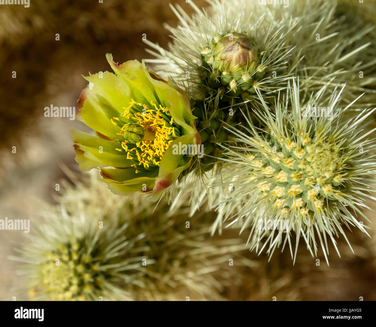 Cholla Cactus blooming, early spring in the Mojave desert, don't touch they don't let go Stock Photo
