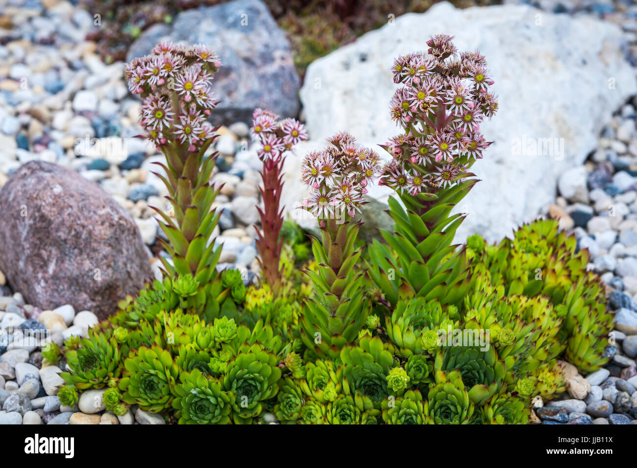 A flowering hen and chickens plant in a rock garden in Winkler, Manitoba, Canada. - Stock Image