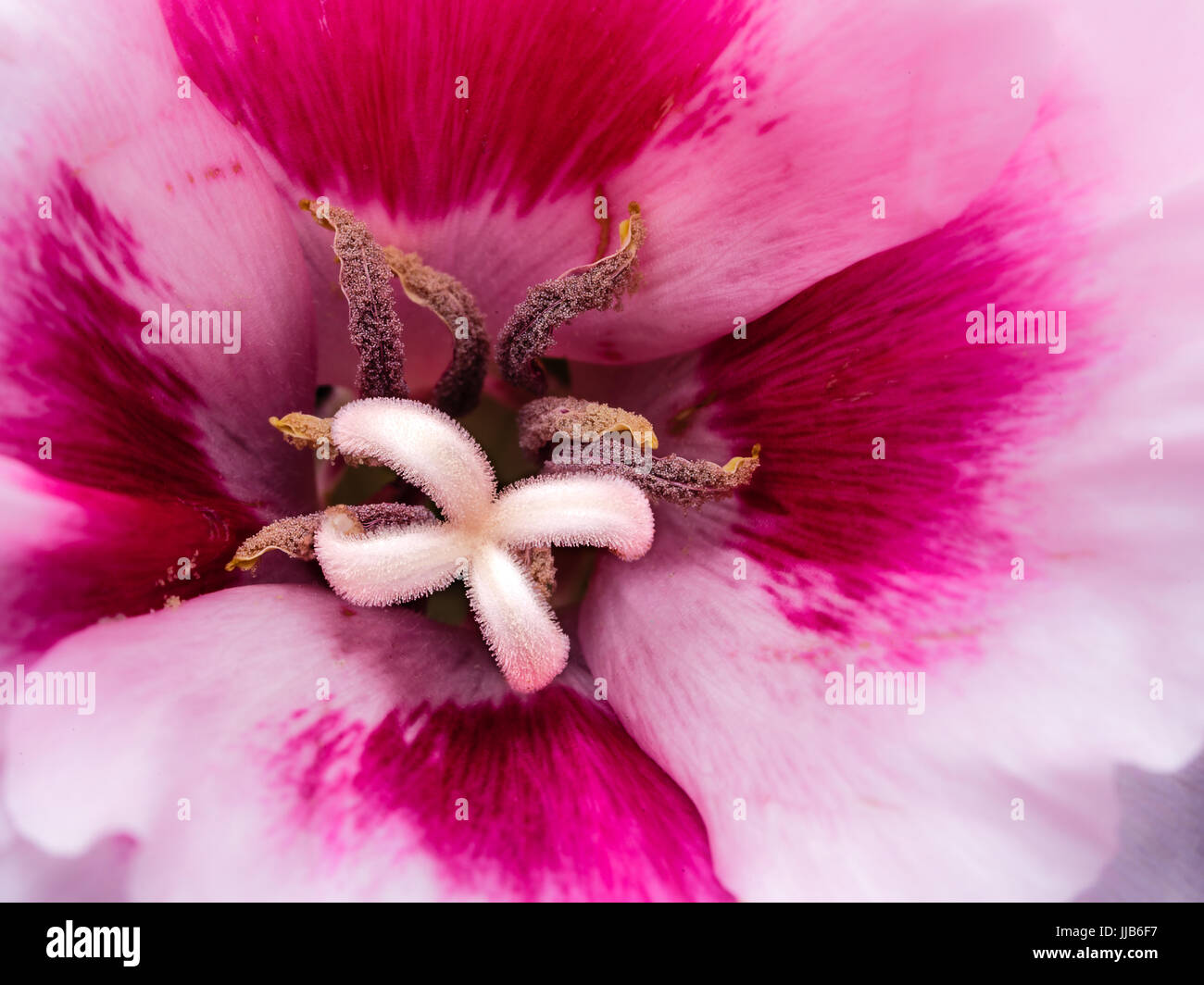 Macro photograph of a lily flower with pink and white pedals highly macro photograph of a lily flower with pink and white pedals highly detailed white pistil and tan stamen izmirmasajfo