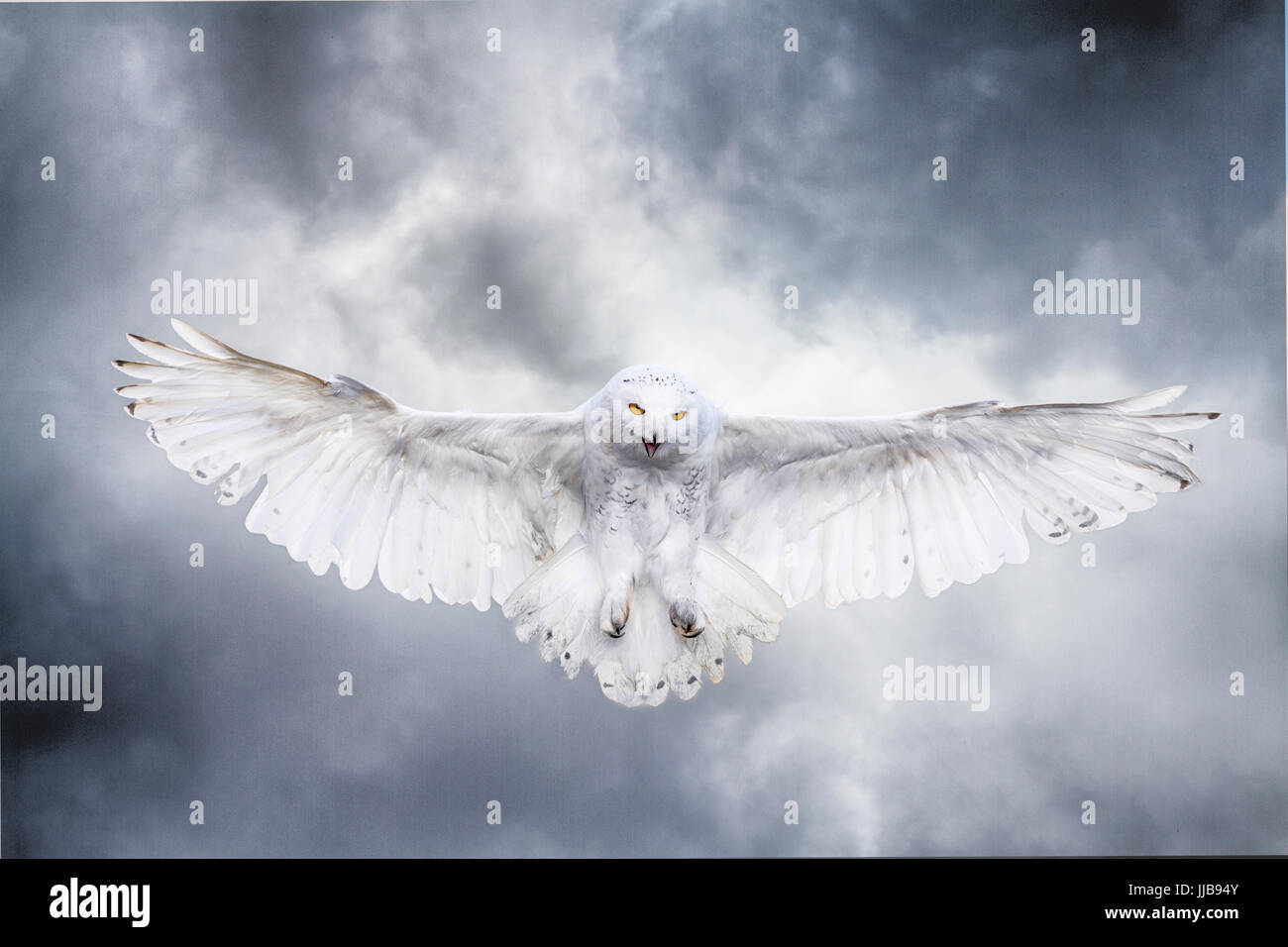 Snowy owl in flight against a stormy sky - Stock Image