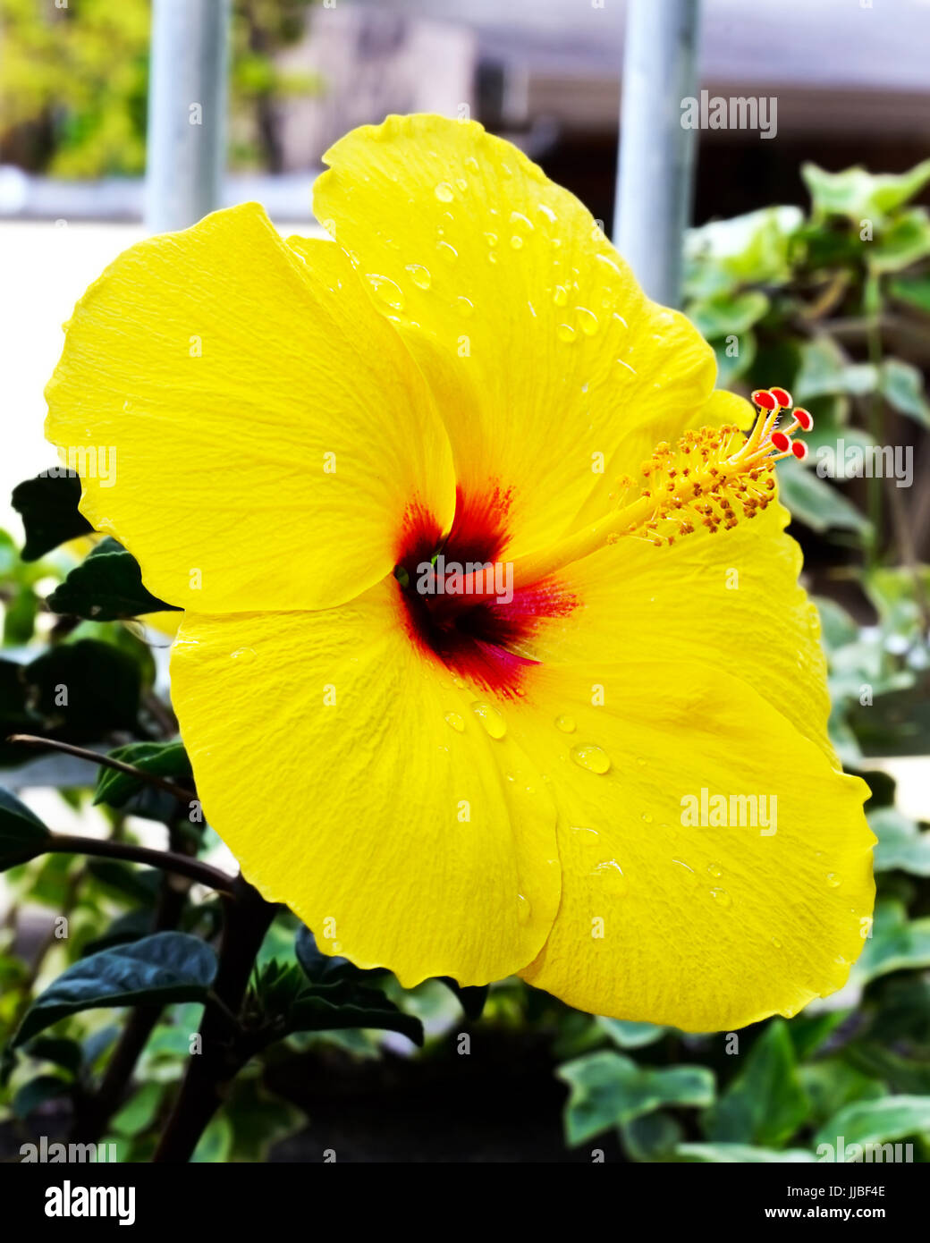 Yellow Hibiscus Red Center Stock Photos Yellow Hibiscus Red Center