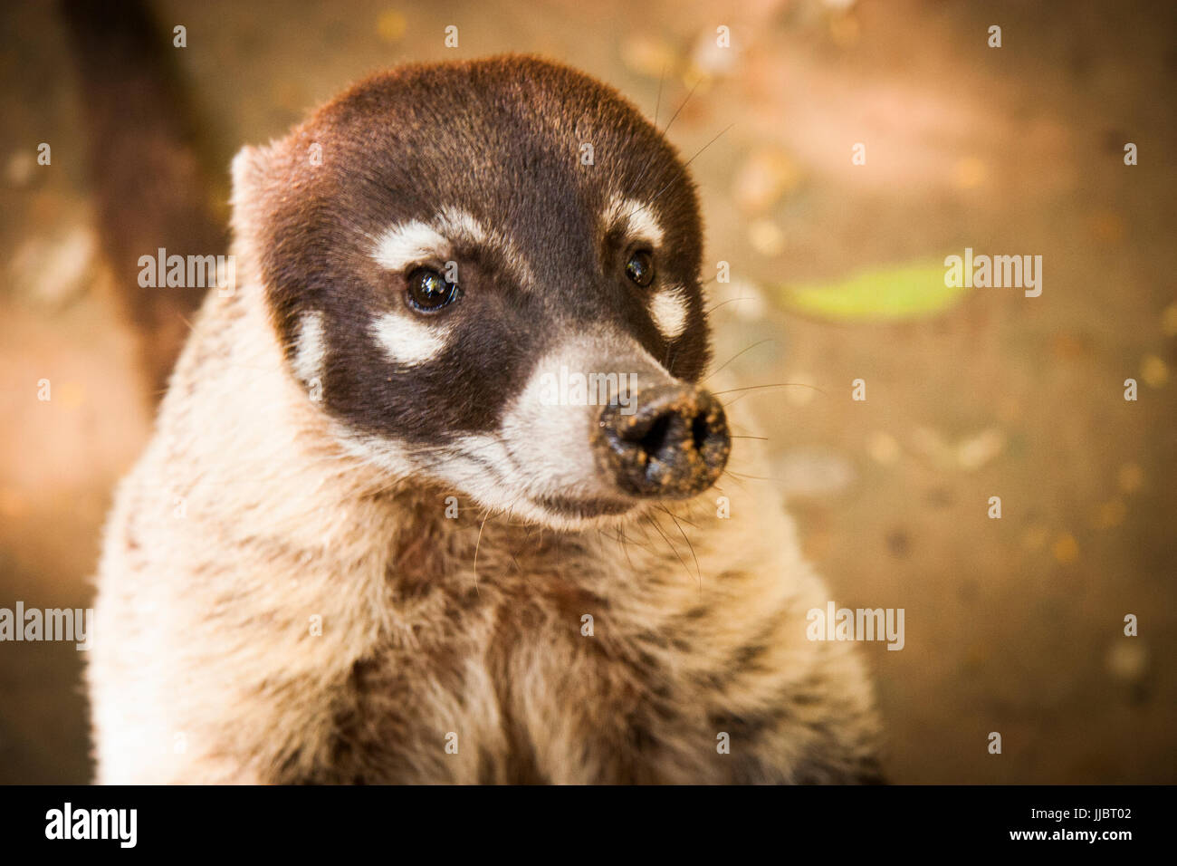 Coati animal wild cute face portrait - Stock Image
