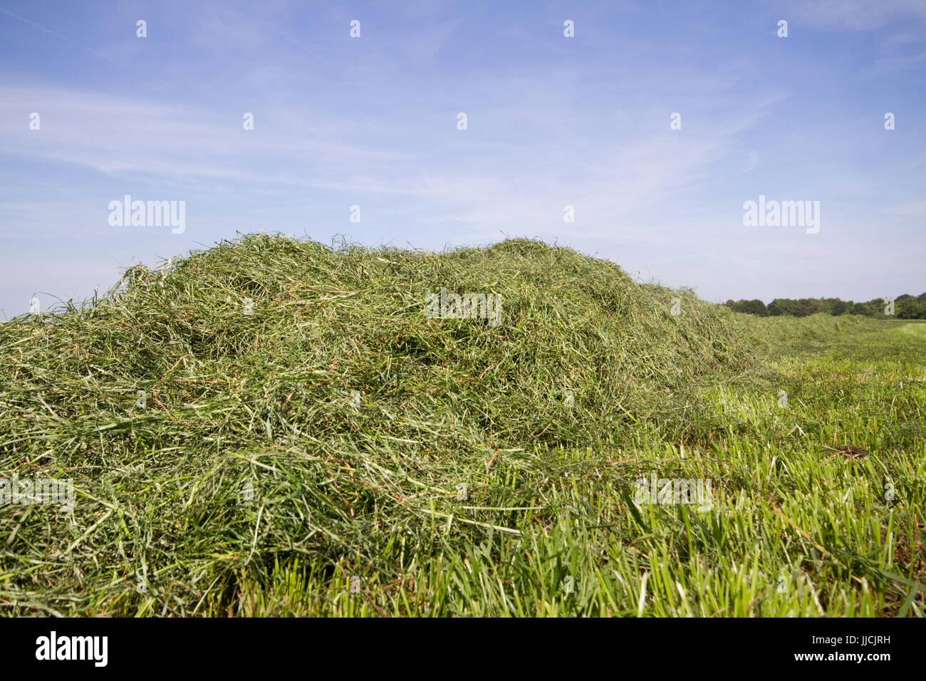 Hay, raked in a row, waiting to be harvested, under a blue sky - Stock Image