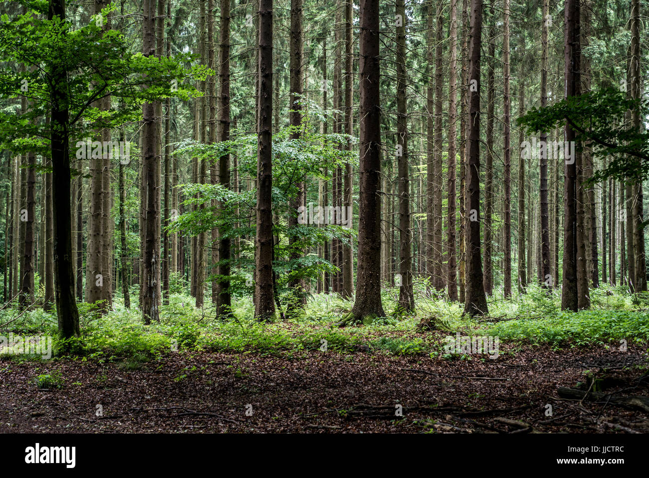 Green Tree Spooky Forest Background Beautiful View On Fresh Pines