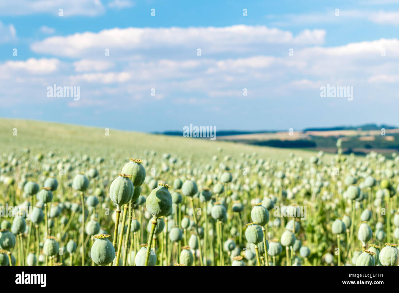 The part of big field with growing green poppies. Some poppies in foreground are focused. In the smooth blurry background Stock Photo