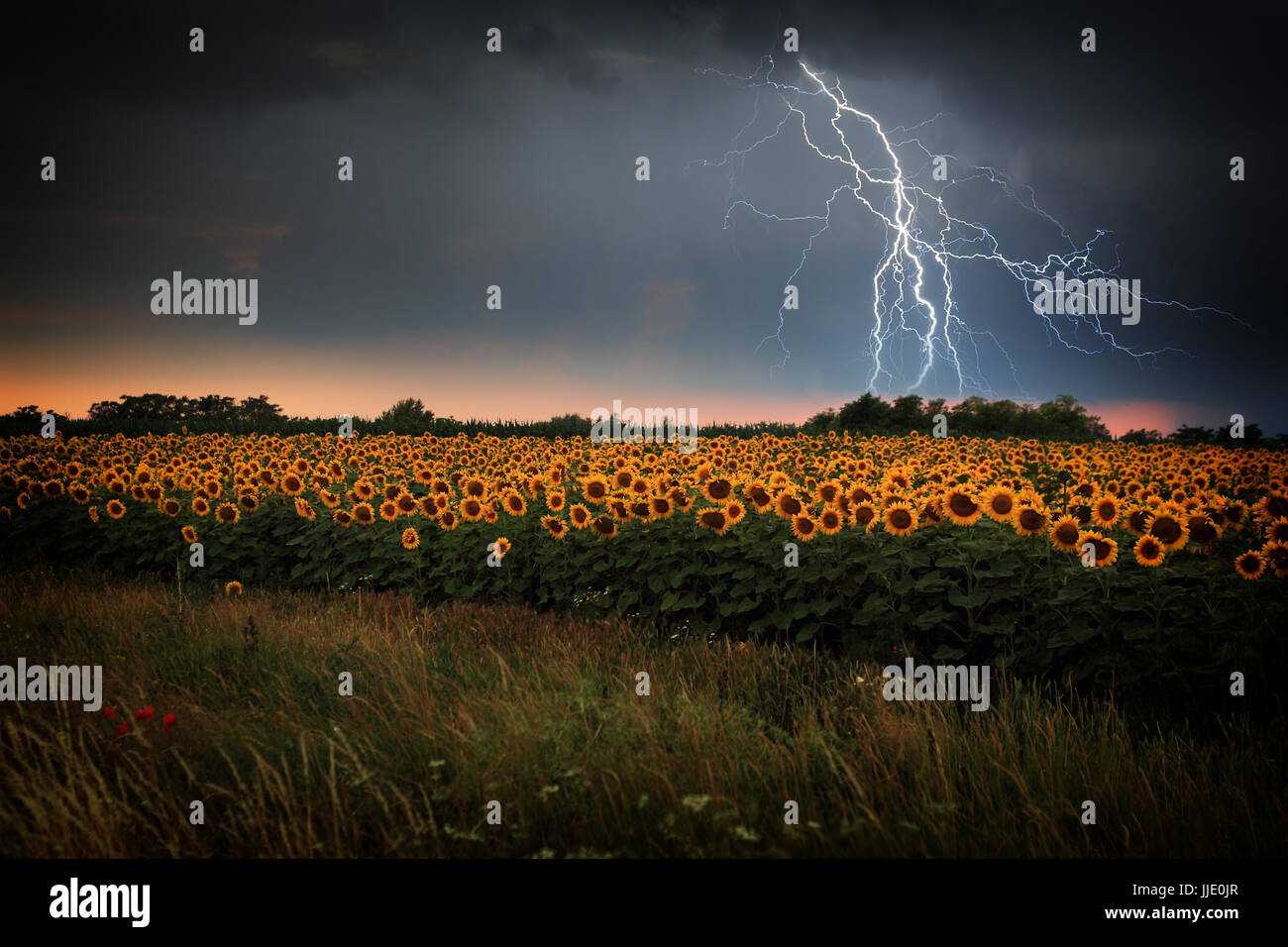 Lightning storm over sunflower field Stock Photo