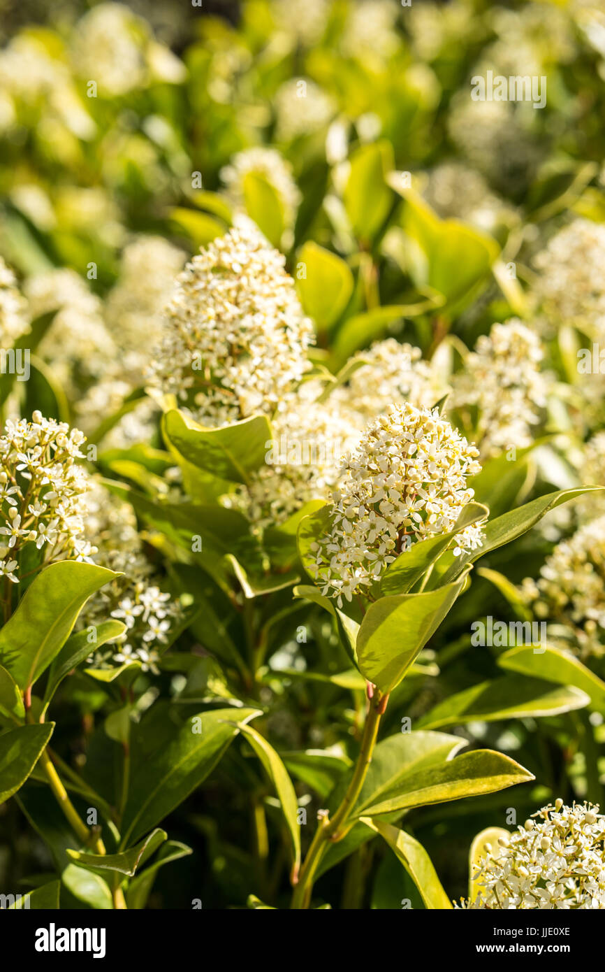 Bush Flowers With Small White Flowers Standing In The Spring The