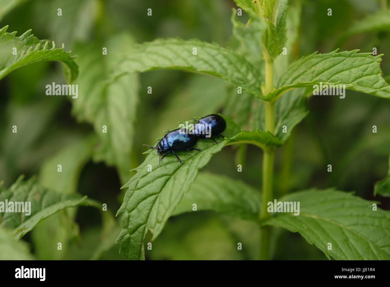 two blue mint beetle ( Chrysolina coerulans ) on fresh organic peppermint leaves Stock Photo