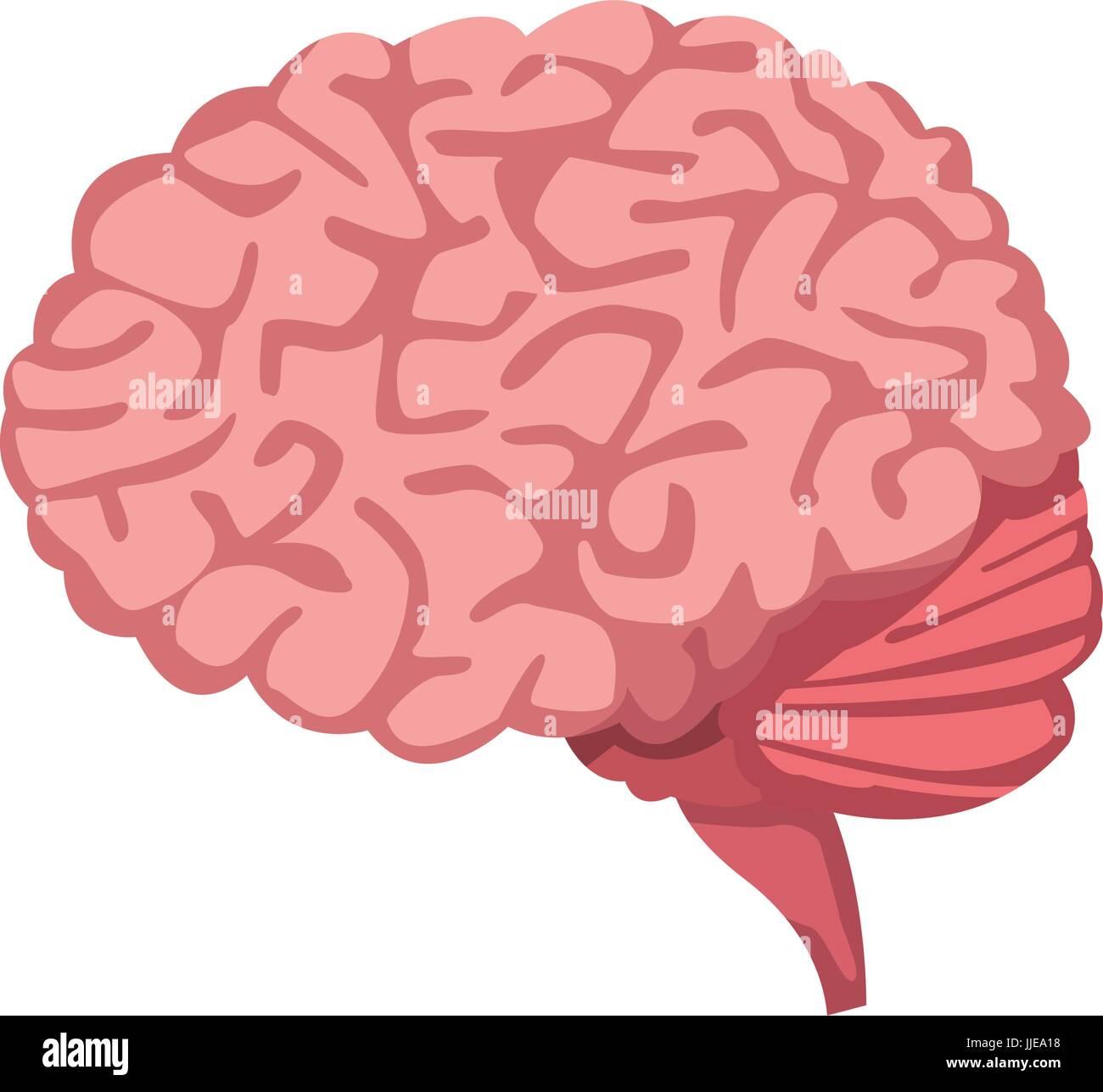 Human Brain For Medical Healthy Memory Anatomy Design Stock Vector
