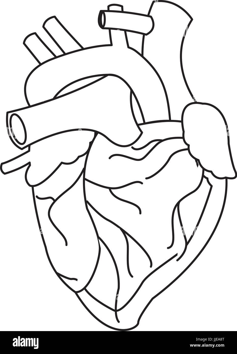 human heart medical anatomical artery - Stock Image